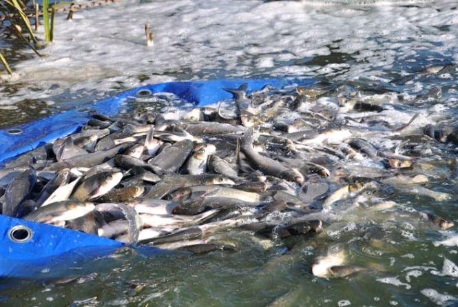У Житомирське водосховище вселять 7 тонн риби