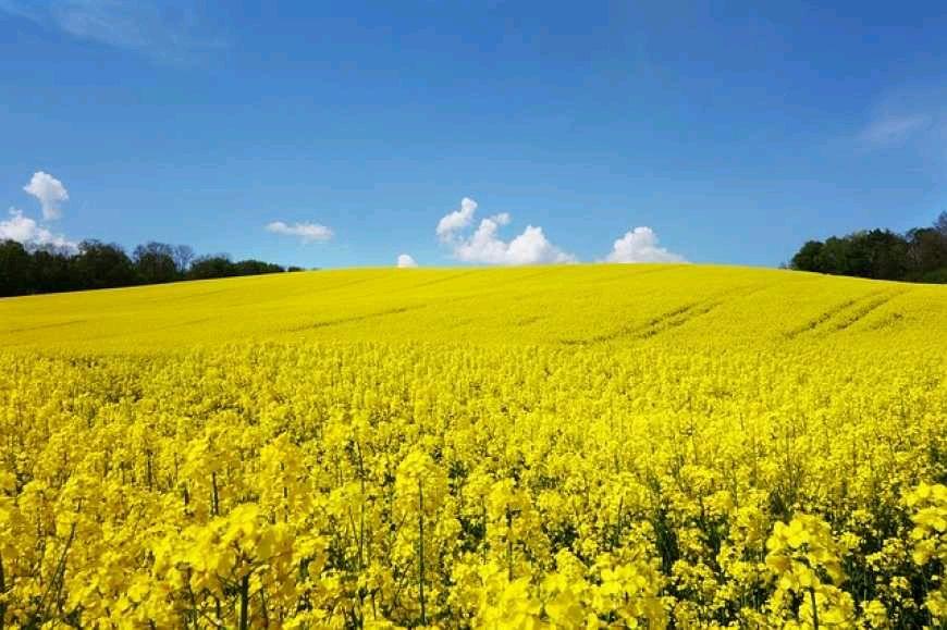 На Житомирщині зібрали рекордний урожай пшениці й ріпаку